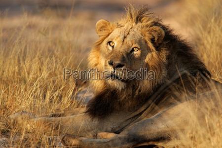 grande maschio africano leone