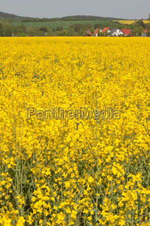 rapeseed with houses