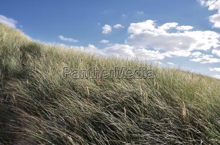 satte dune grasses