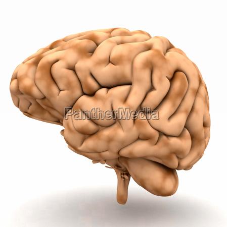 opzionale cervello organo medicina isolato psicologia