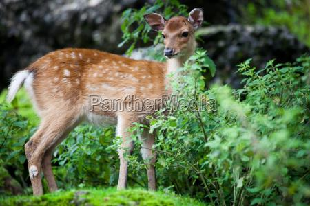 animale legno natura cervo foresta