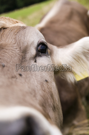 volare allocchio della mucca