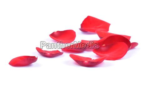 rilasciato fiore rosa appartato petali petalo