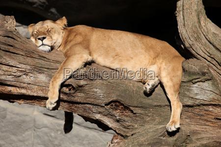 albero leone gatto felino pelliccia natura