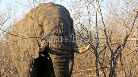 elefante toro riserva di caccia