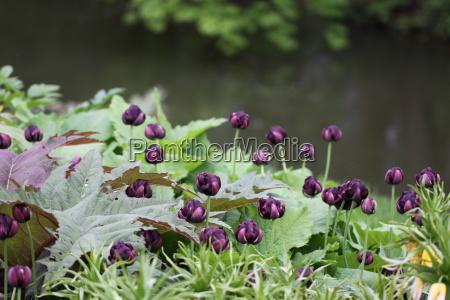 fiore verde estate primavera tulipani impianto