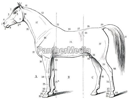 la forma esterna del cavallo