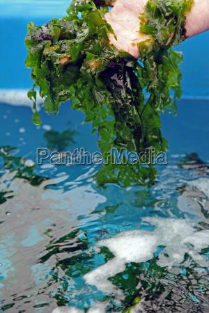 cultura della lattuga di mare ulva