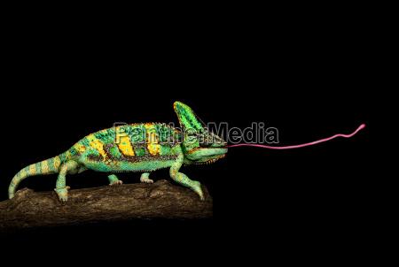 animale verde lucertola animali colorato nero