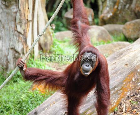 animale mammifero marrone asia faccia ritratto