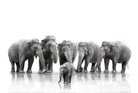 mandria di elefanti