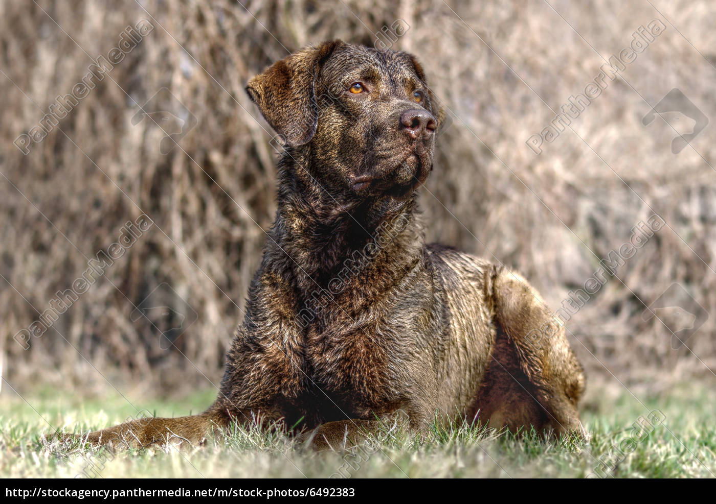 labrador, retriever, in, hdr - 6492383