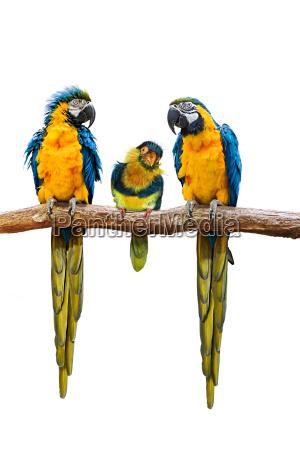 uccello colorato uccelli ramo tre gelosia