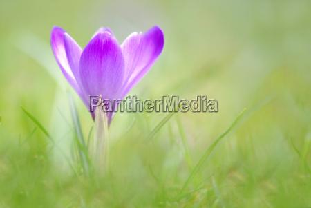 croco sativus