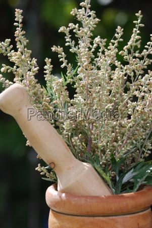 artemisia artemisia vulgaris pianta medicinale