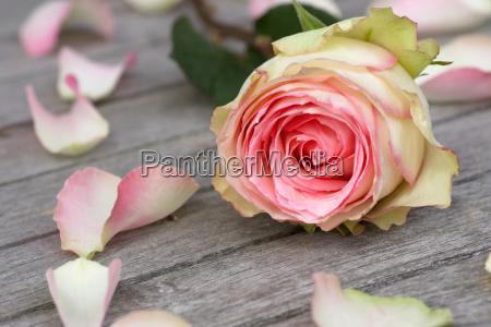 rosa con petali di rosa