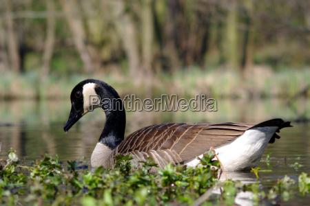 ambiente uccello animali uccelli oche oca