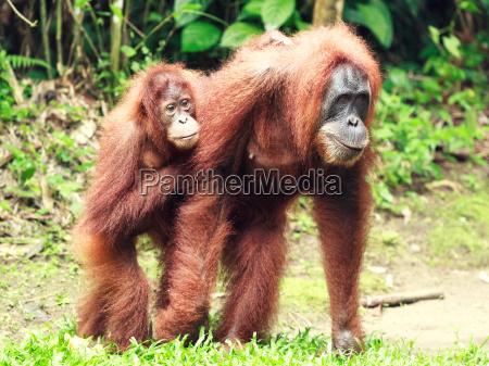 femminile animale faccia triste scimmia indonesia