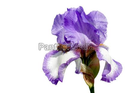 opzionale insetto fiore fioritura giglio caucasico