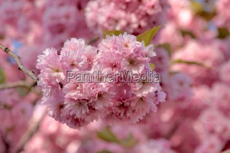 blu albero fiori primavera pianta decorativa