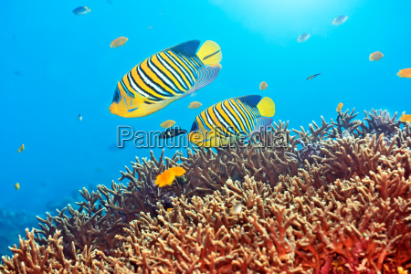 royal angelfishes