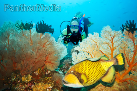 triggerfish and diver