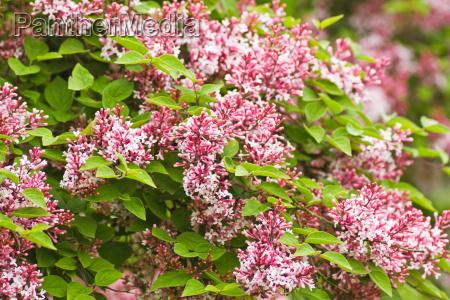 piccoli profumati microphylla fiori rosa syringa