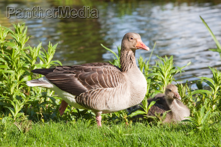 goose with chicks on meadow at