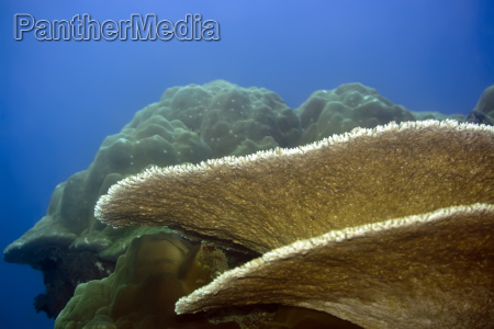 table coral and stony coral
