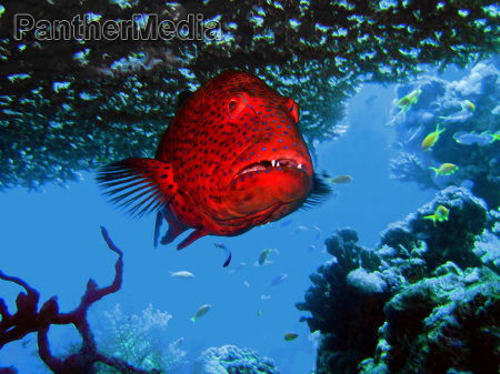 grouper under a coral