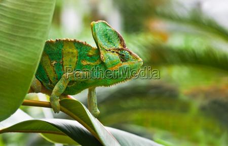 rettile lucertola rettili camaleonte lucertole chameleons