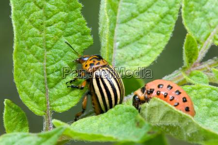 insetto cimice avido nutriente alimentazione