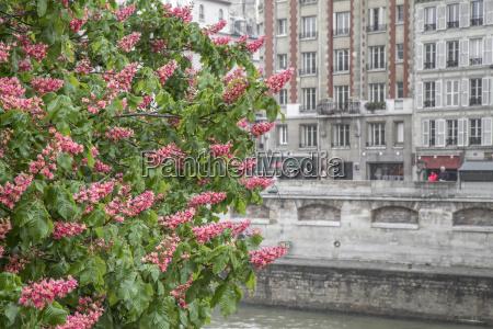 blooming castagno che ospita facciata a