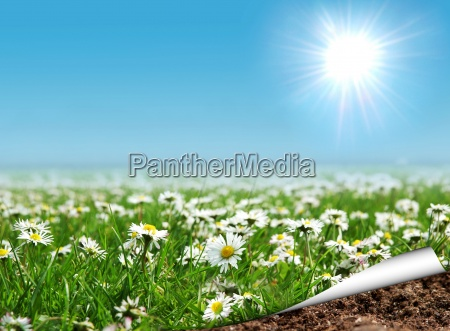 daisies field with curled page