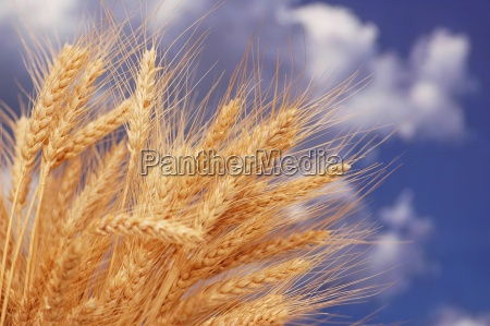 wheat ears against the blue