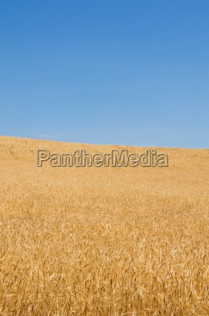 wheat field on the bright summer