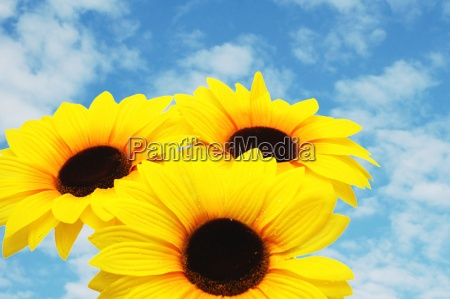 three sunflowers isolated against the blue