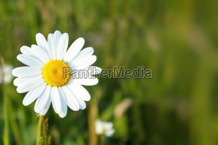 fiori bianchi della margherita