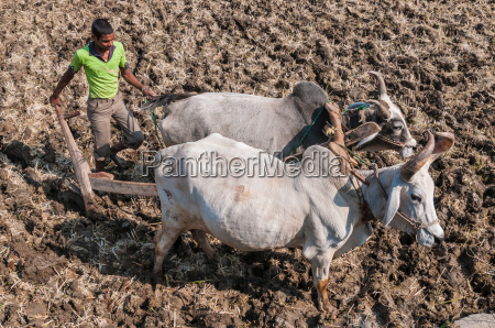young indian farmer plowing a field