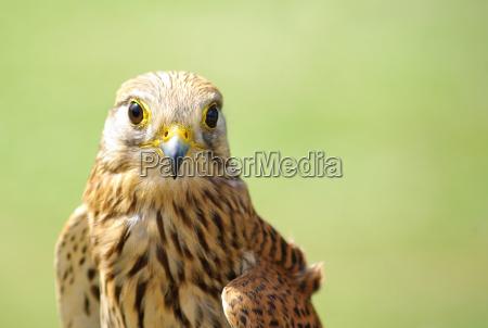 ambiente uccello uccelli falco gheppio natura