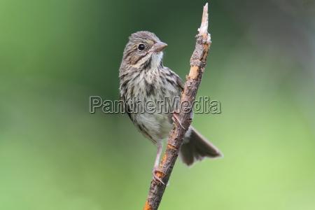 uccello uccelli passero natura