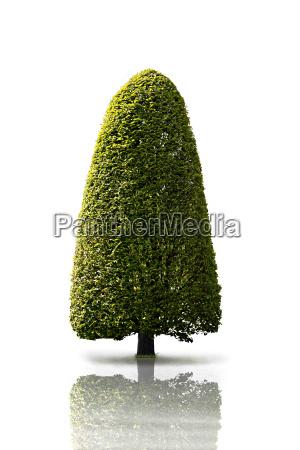 albero alberi verde albero caduco caucasico