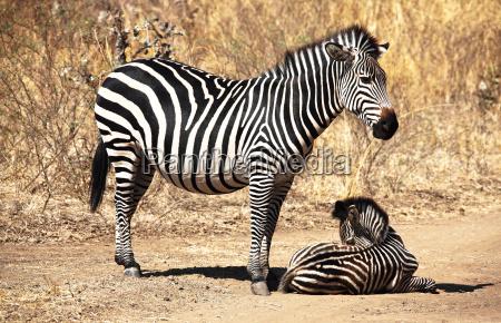 animale africa zebra natura africano cucciolo
