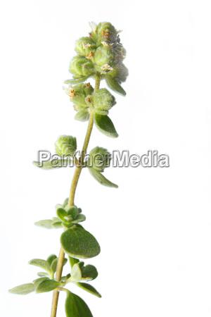 spezia rilasciato opzionale maggiorana erbe pianta