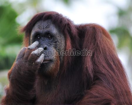 animale mammifero marrone faccia ritratto scimmia