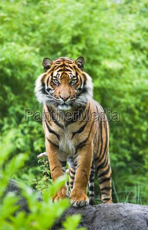 tigre asiatica o bengala con sfondo