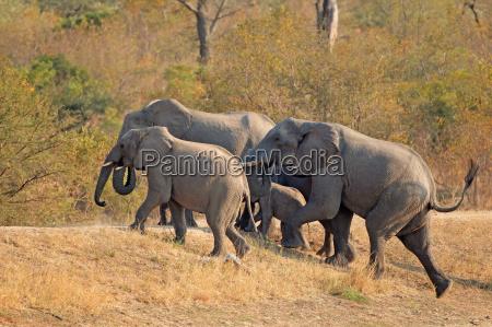 animale mammifero africa elefante elefanti africano