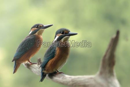 animale uccello animali uccelli raro martin