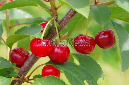 ciliegia acida acida 09
