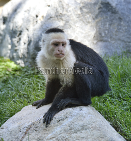 scimmia cappuccina bianco throated